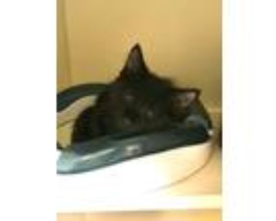 Adopt Lorenzo a Domestic Longhair / Mixed (long coat) cat in Portsmouth