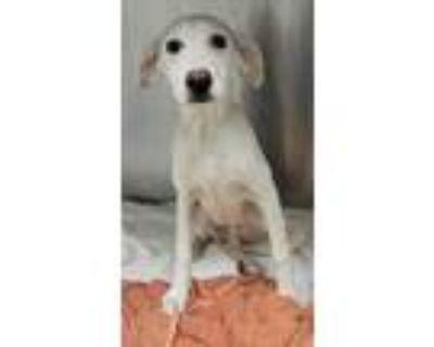 Adopt Timon a White Labrador Retriever / Mixed dog in Kansas City, MO (32093709)