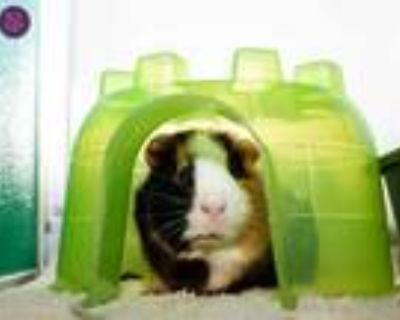 Adopt BROWNIE a Brown or Chocolate Guinea Pig / Mixed small animal in Norfolk