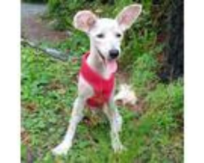Adopt Kash - NYC a White - with Tan, Yellow or Fawn Schnauzer (Miniature) /