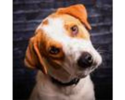 Adopt Odessa Solitaire a German Shorthaired Pointer
