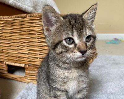 Ynoa - Domestic Shorthair - Kitten Female