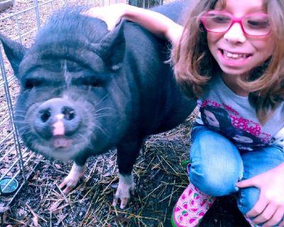 Black pot belly pig