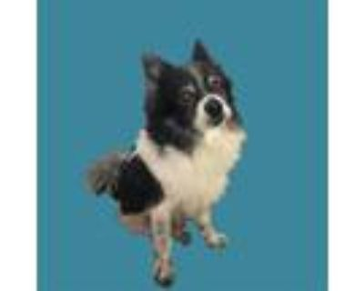 Adopt *JOEY a Black - with White Pomeranian / Mixed dog in Long Beach