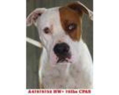 Gumbo, American Pit Bull Terrier For Adoption In Shreveport, Louisiana