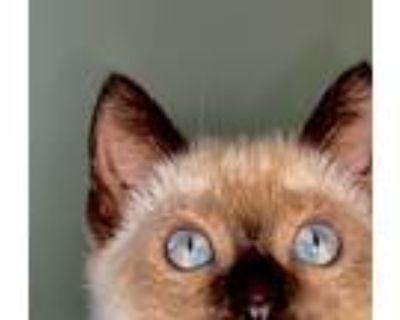 Adopt Alpine a Cream or Ivory (Mostly) Siamese (short coat) cat in Orange