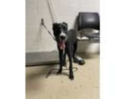 Adopt 47992510 a Black Retriever (Unknown Type) / Mixed dog in Fort Worth