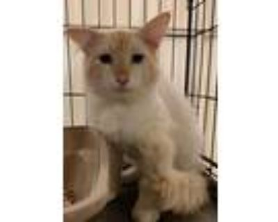 Adopt Kirby a White (Mostly) Domestic Mediumhair / Mixed (medium coat) cat in