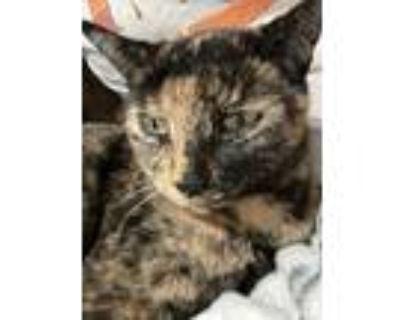 Adopt PJ a Tortoiseshell Manx / Mixed (short coat) cat in Azle, TX (31996673)