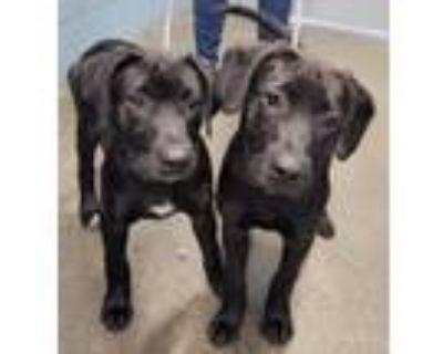 Adopt Monster(white spot ) NOT AVAILABLE UNTIL 06/18 a Retriever, Cane Corso