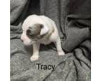 Adopt Tracy Tibby May a Catahoula Leopard Dog