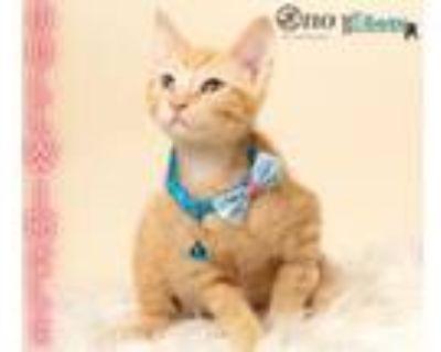 Adopt Bullwinkle a Domestic Medium Hair, Domestic Short Hair