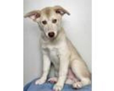Adopt Wolverine a Tan/Yellow/Fawn Husky / Golden Retriever / Mixed dog in Palm