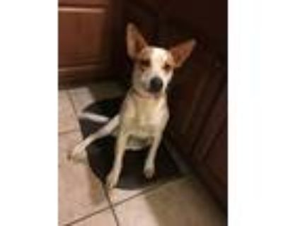 Adopt Lucy a White - with Red, Golden, Orange or Chestnut Australian Cattle Dog
