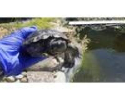 Adopt A092811 a Turtle