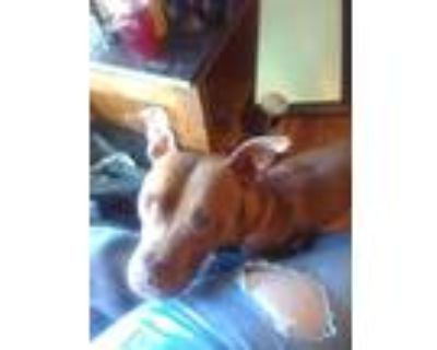 Adopt Rowdy a Brown/Chocolate - with White American Pit Bull Terrier / Mixed dog
