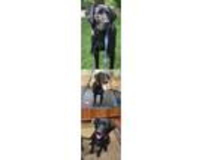 Adopt Jamie's Pup Balto/Cooper a Labrador Retriever / Mixed dog in Chantilly