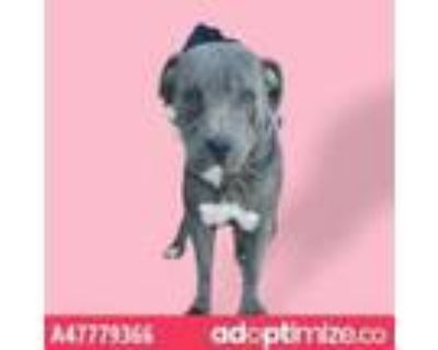 Adopt Gloria a Pit Bull Terrier, Mixed Breed