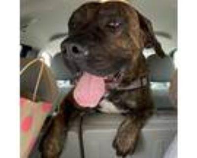 Adopt Ranger a Brindle Mastiff / Mixed dog in Houston, TX (30631377)