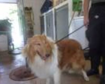 Adopt Yogi a Tan/Yellow/Fawn - with White Collie / Mixed dog in Troy
