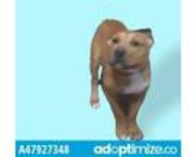 Adopt 47927348 a Brown/Chocolate Border Terrier / Mixed dog in El Paso