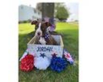 Adopt Jordan a Boxer, Pit Bull Terrier