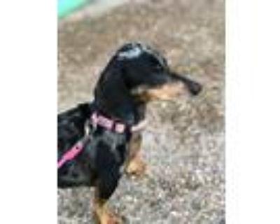 Adopt Daizy a Black Dachshund / Mixed dog in Cheyenne, WY (32096246)