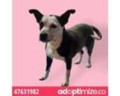 Adopt 47631982 a Pit Bull Terrier, Mixed Breed
