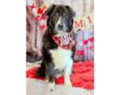 Adopt Everly a Newfoundland Dog, Border Collie