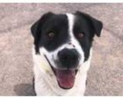 Adopt RAY a White - with Black Border Collie / Mixed dog in Albuquerque