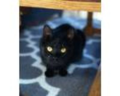 Adopt Diane a All Black Domestic Shorthair (short coat) cat in Xenia