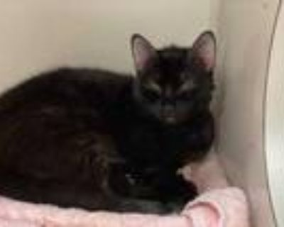 Adopt Firefly a All Black Domestic Shorthair / Domestic Shorthair / Mixed cat in
