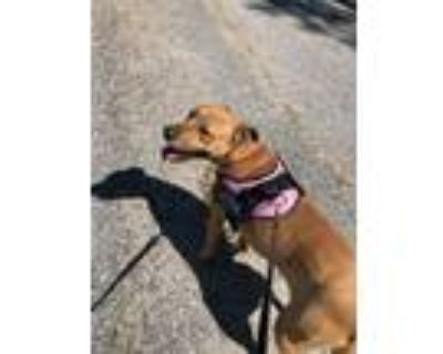 Adopt Jackie a Brown/Chocolate - with White Terrier (Unknown Type
