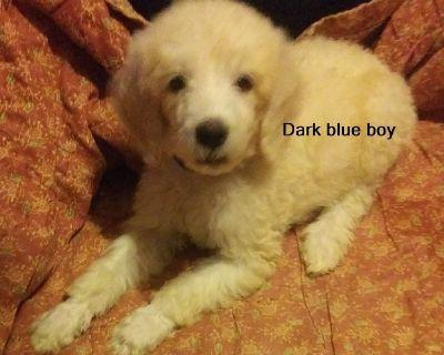 AKC standard poodles 8 weeks Health tested parents no restrictions. Boys $1700, girls