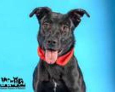 Adopt LIBBY a Black - with White Labrador Retriever / Mixed dog in St.