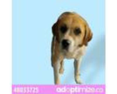 Adopt 48033725 a Saint Bernard, Mixed Breed