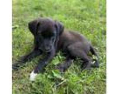 Adopt Vinny a Chocolate Labrador Retriever, German Shepherd Dog