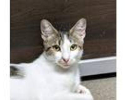 Adopt Patches McPurrington a Gray, Blue or Silver Tabby Domestic Shorthair /