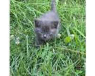 Adopt Spooky a Gray or Blue Domestic Mediumhair / Mixed cat in Winchester