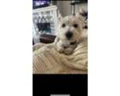 Adopt Dolly a White Westie, West Highland White Terrier / Westie