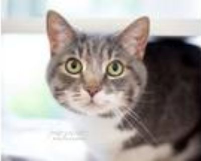 Charlie, Domestic Shorthair For Adoption In Reisterstown, Maryland