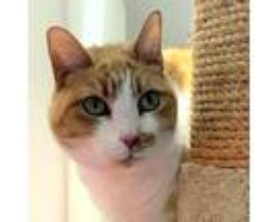 Adopt Penny a Orange or Red Domestic Shorthair / Mixed cat in Los Angeles