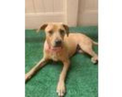 Adopt Melissa a Labrador Retriever, Mixed Breed