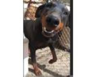 Adopt Simone a Black - with Tan, Yellow or Fawn Doberman Pinscher / Mixed dog in