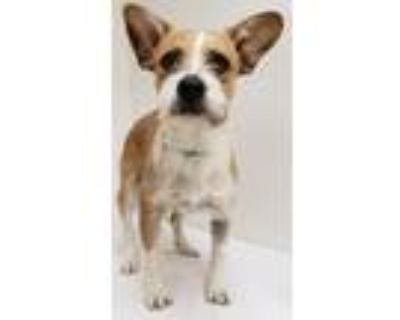 Adopt Clarabelle a Terrier, Mixed Breed