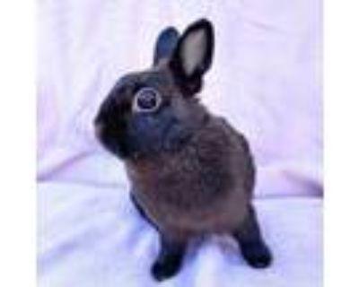 Adopt Tallulah a Chocolate Netherland Dwarf / Mixed (short coat) rabbit in Los