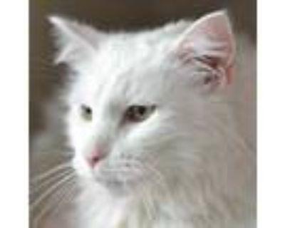 Adopt Casper a White Domestic Longhair / Domestic Shorthair / Mixed cat in