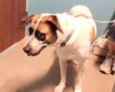 Adopt HONEE a Australian Cattle Dog / Blue Heeler