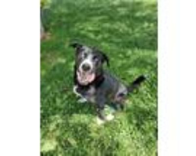 Adopt HERCULES a Black - with White Husky / Border Collie / Mixed dog in San