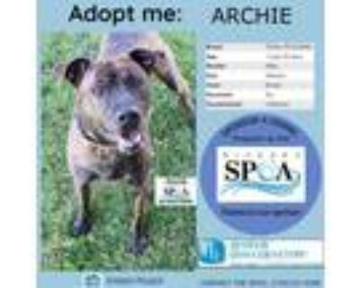 Adopt Archie a Brown/Chocolate American Pit Bull Terrier / Mixed dog in Niagara